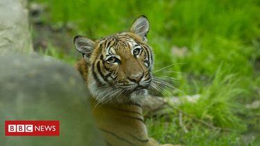 Tiger at US zoo tests positive for coronavirus